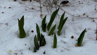 tulpe-austrieb-schnee