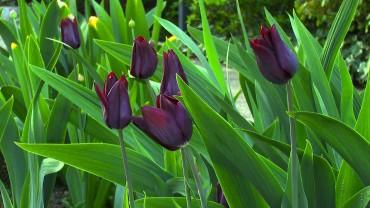 tulpe-dunkel