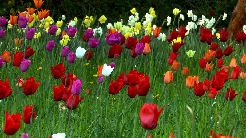 tulpe-farben-divers