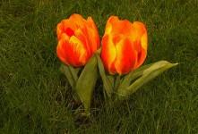 Tulpe – Fotogalerie