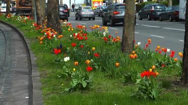 tulpe-strassenrand
