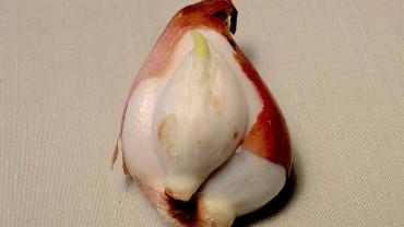 tulpe-zwiebel-tochterzwiebel