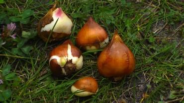 tulpe-zwiebeln-setzen