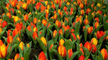 tulpen-anbau