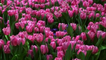 tulpen-rosa