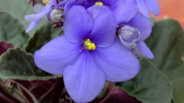 usambaraveilchen-bluete