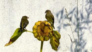 vogel-sonnenblume