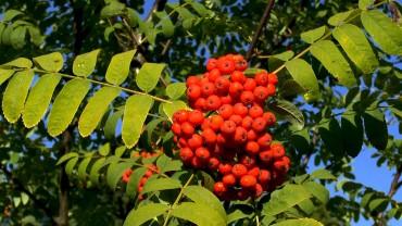 vogelbeere-eberesche-beere-frucht