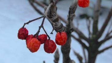 vogelbeere-eberesche-frucht-winter