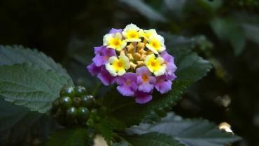 wandelroeschen-bluete-frucht