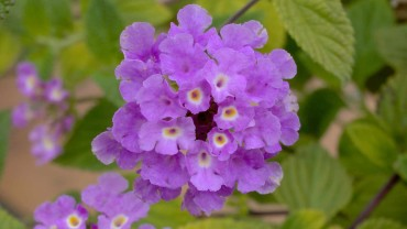wandelroeschen-bluete-violett