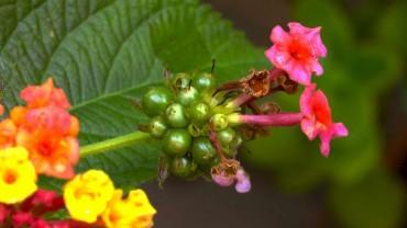 wandelroeschen-fruchtbildung