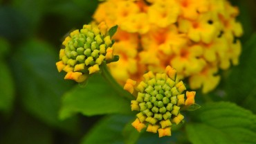 wandelroeschen-knospen-gelb