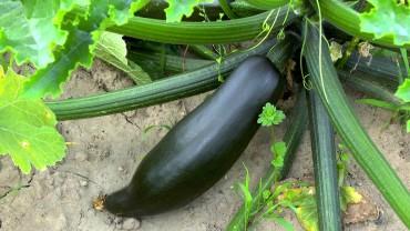 zucchini-frucht-ernte-erntereif